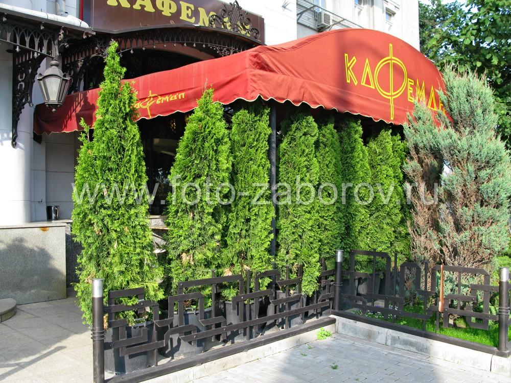 Красивое ограждение главного входа кафе: кованая оградка и живой зелёный ряд из