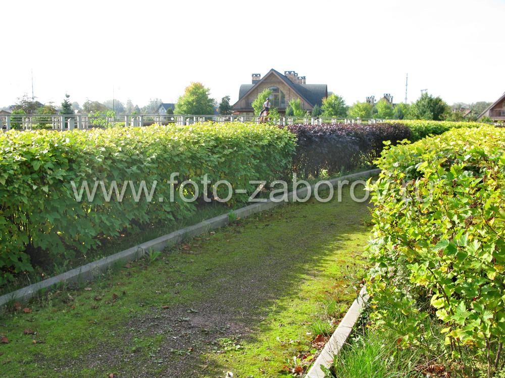 Фото Живая изгородь, словно радушная хозяйка, предлагает прогуляться по извилистым аллеям и ощутить