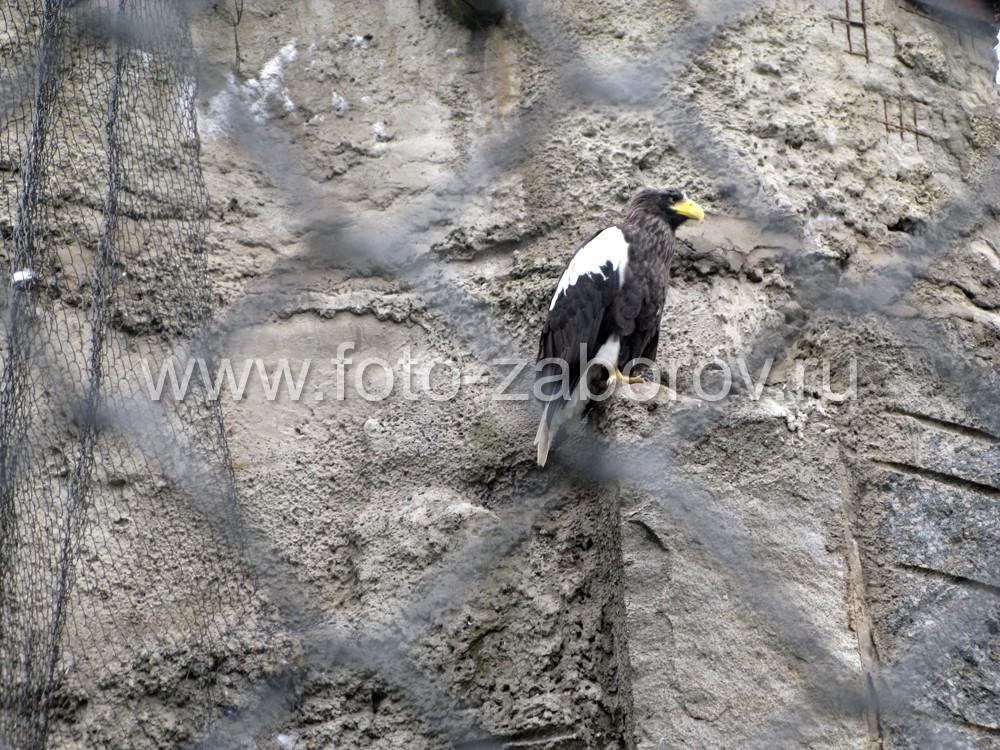 Белоплечий орлан мечтает о тихоокеанском побережье - родине