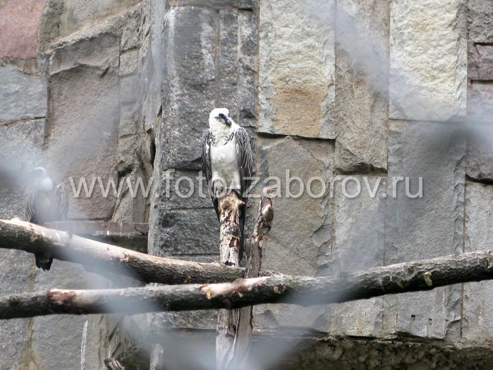 Белоголовый сип, отличающийся чрезвычайно острым зрением, рассматривает посетителей зоопарка с