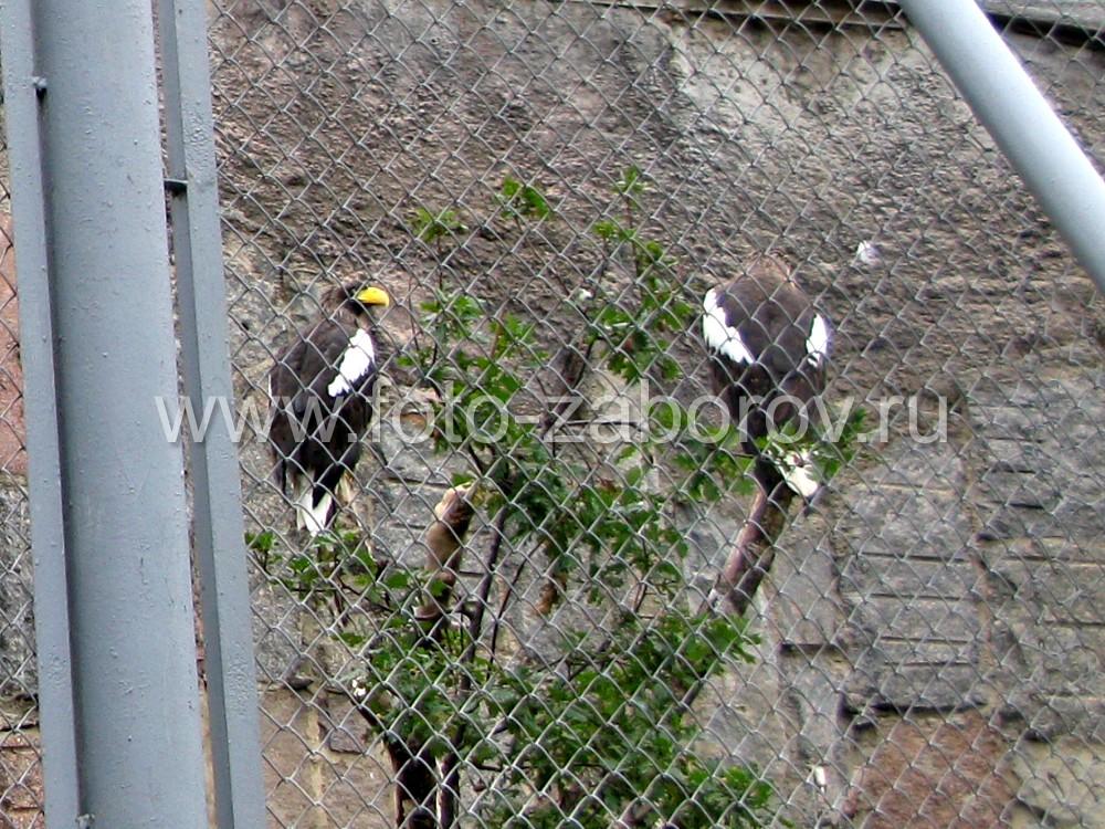 Парочка белоплечих орланов: им есть о чём