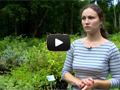 Растения для живой изгороди: чубушник, форзиция, жимолость, туя и другие.