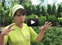 Саженцы для живой изгороди - садовый центр «Дарвин»